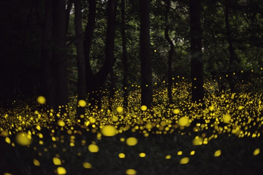 fireflies+public+domain