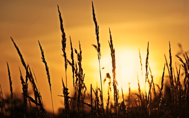 wheat-stalks-in-the-sunlight_800