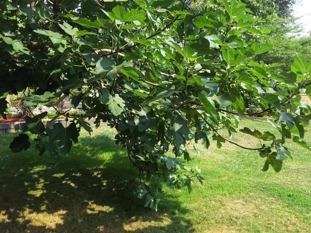 fig-tree-1502478294iAE